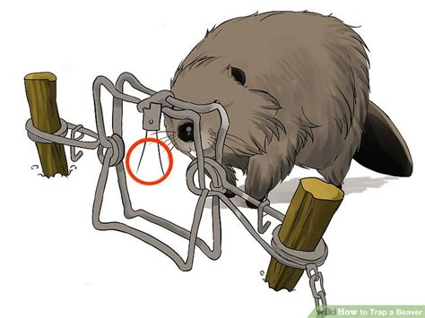 open conibear trap how to trap a beaver with pictures wikihow