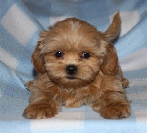 teddy puppy breeders color blond fuzzywuzzypuppy koda shichon puppies zuchon puppies teddy