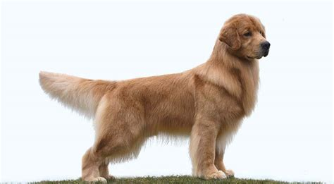 golden retriever puppies new york new york golden retriever breeder chestnut goldens golden retriever puppies