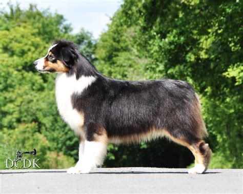 chien elevage du chemin des korrigans elevage de