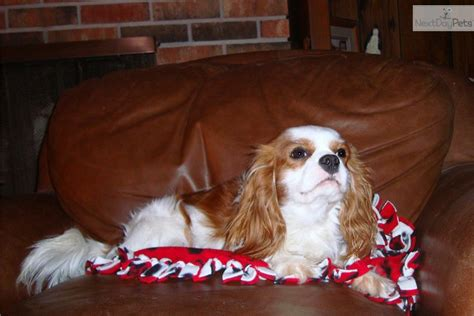 king charles cavalier puppies for sale mn cavalier king charles spaniel puppy for sale near minneapolis st paul minnesota