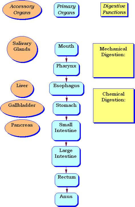 digestive system flow chart diagram search results for flow chart of digestive system