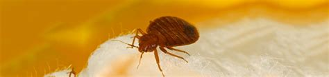 identifying bed bugs   find bedbugs select