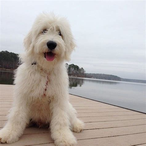 goldendoodle puppies florida 17 best images about new puppy doodle breeders on berdoodle