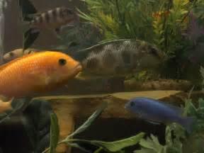 Cichlids com african cichlids