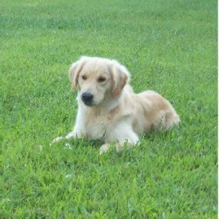 golden retriever breeders maryland pinewood acres golden retriever breeder in hagerstown maryland 21740