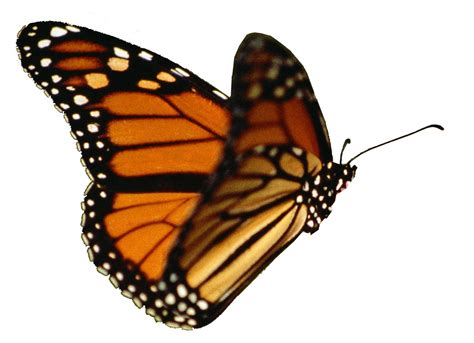 realistic butterfly clipart clipground