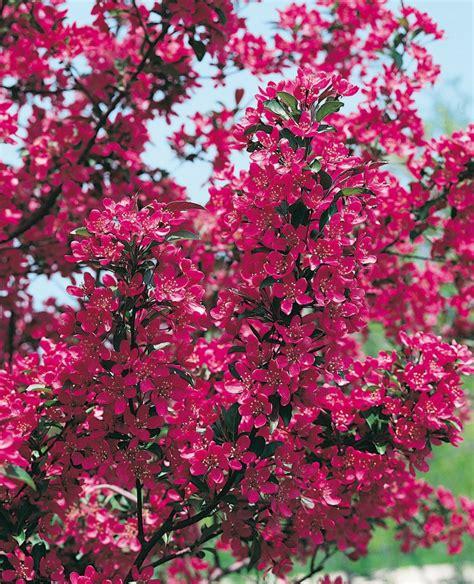 melo da fiore melo da fiore fiori idea immagine