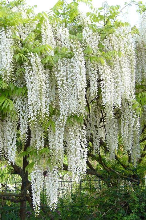 how to prune wisteria snow showers wisteria wisteria