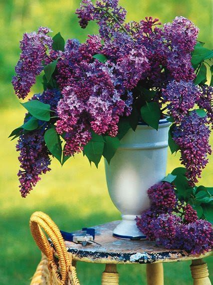 Yuri Glass Cleaner Fresh Lilac 17 best images about lilacs on purple lilac