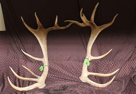 Moose Antler Sheds For Sale by Set 6 Ranched Elk Antler Sheds Gateway Auction Services Ltd