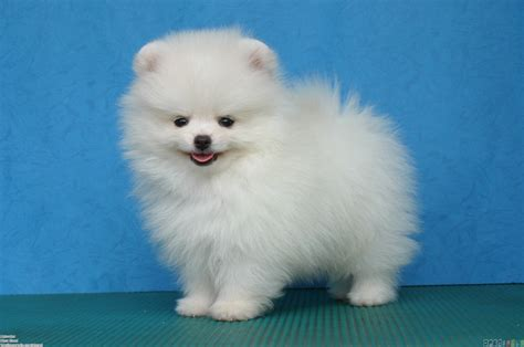 pomeranian white white pomeranian wallpaper 8862 open walls