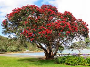 trees images our new zealand mission experience pohutukawa tree