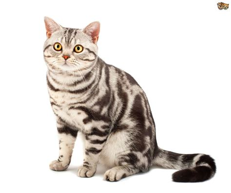 shorthair cat american shorthair cat breed facts highlights advice