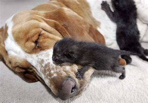 alimentazione gatti piccoli bassethound allatta cucciolata di gattini coda vispa