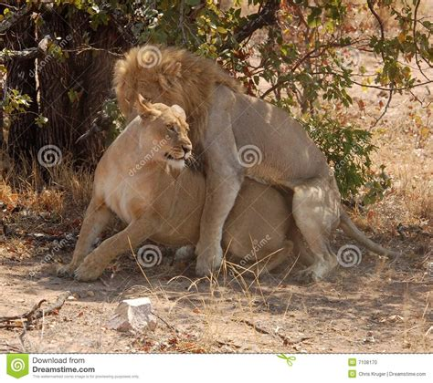 mating video of african people african lions mating stock photo image 7108170
