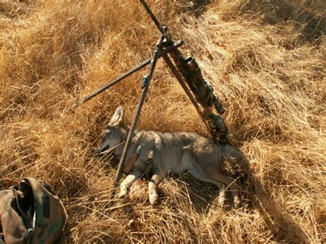 coyote challenge call coyote calling with free mp3 sounds