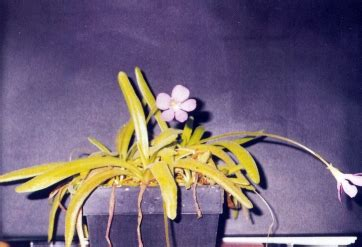 Humm3r Aprodhite Maroon international carnivorous plant society