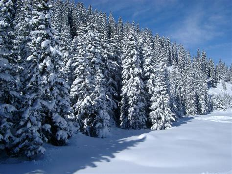 trees snow free stock photo of snow covered forest of pine trees