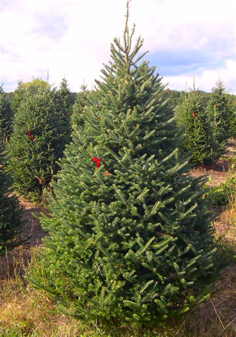 top 28 fresh cut christmas trees near me fresh cut