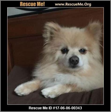 pomeranian rescue in michigan michigan pomeranian rescue adoptions rescueme org