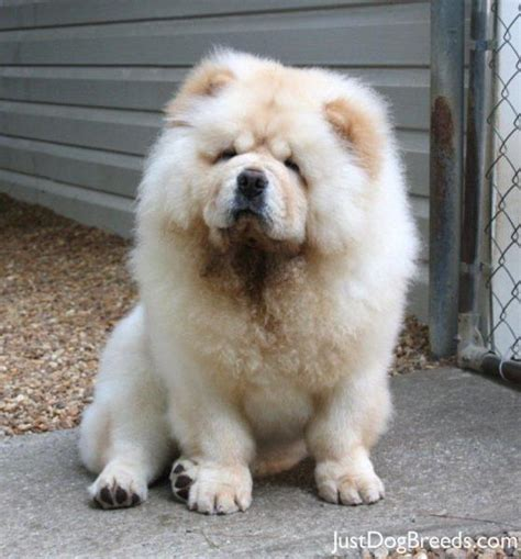 hachi breed hachi chow chow breeds