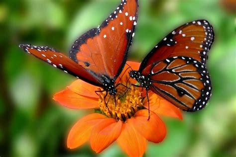 imagenes sobre mariposas dos mariposas sobre una flor naranja 75599