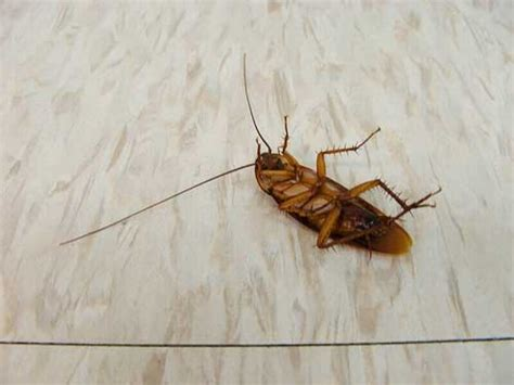 how do roaches get in your house how to get rid of roaches fast and forever