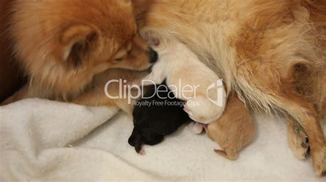 what to feed pomeranian puppies newborn pomeranian puppies feeding royalty free and stock footage