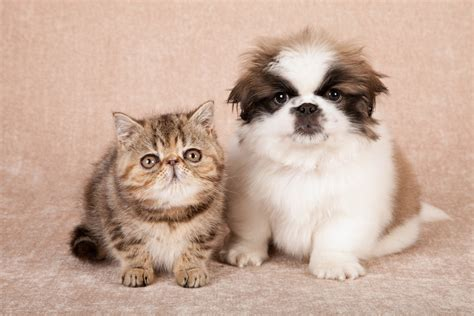 dogs and cats dogs and cats what to do before introducing a new cat to