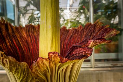 corpse flower corpse flower denver botanic gardens