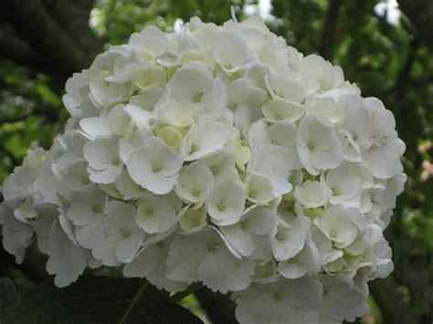 imagenes de hortencias blancas foto de mi hortensia blanca