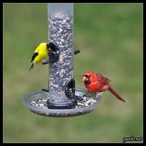 Cardinal Bird Feeder Aging Pea Pods Chronic Conditions Lessons