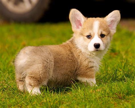 corgi puppies wisconsin file pembroke corgi in grass jpg wikimedia commons