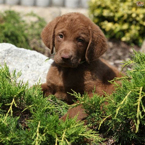 chesador puppies for sale adopt chesapeake bay lab breeds picture