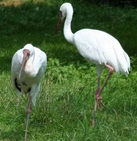 siberian crane siberian crane simple english wikipedia the free