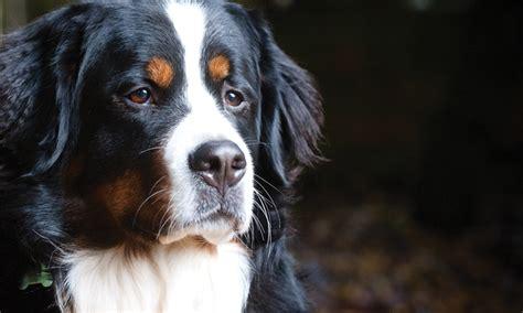 idiopathic epilepsy in dogs gabapentin veterinary team brief