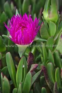 plante grasse fleurie my