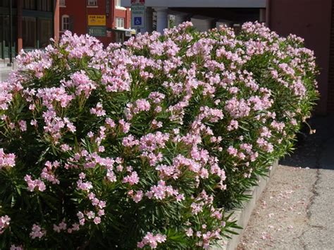 top flowering shrubs flowering shrubs summer color that beats the heat the