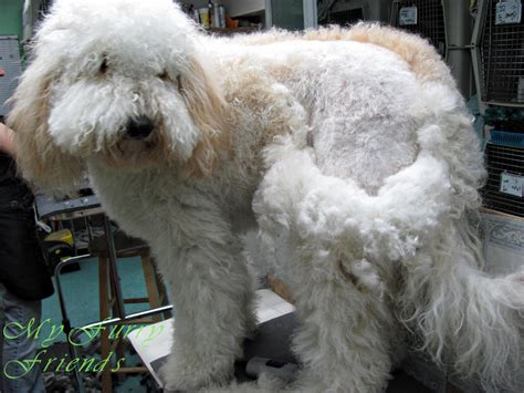 goldendoodle puppy fur pet grooming the the bad the grooming