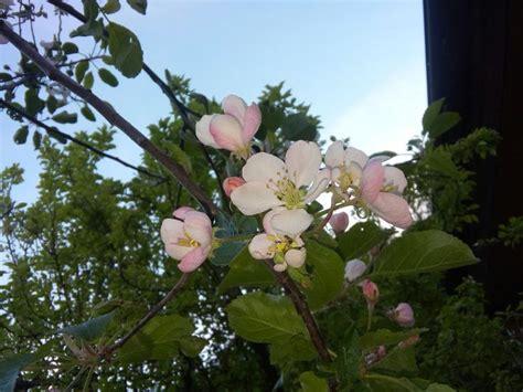 fiori di melo oltre 25 fantastiche idee su fiori di melo su