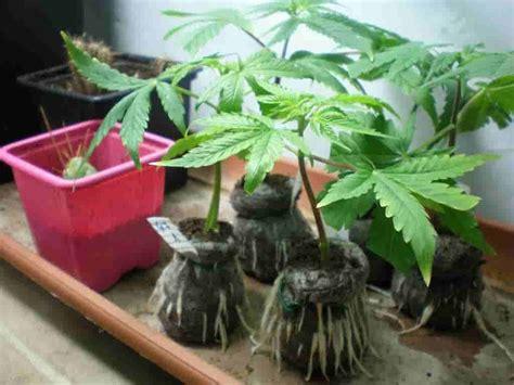 plantar marihuana en interior gu 237 a completa para el cultivo de marihuana de interior
