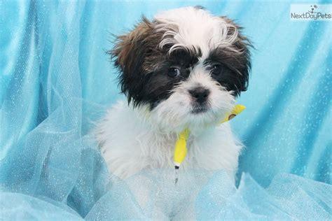 shih tzu grooming kit for sale shih tzu puppy for sale near greensboro carolina 8ce71db4 55e1