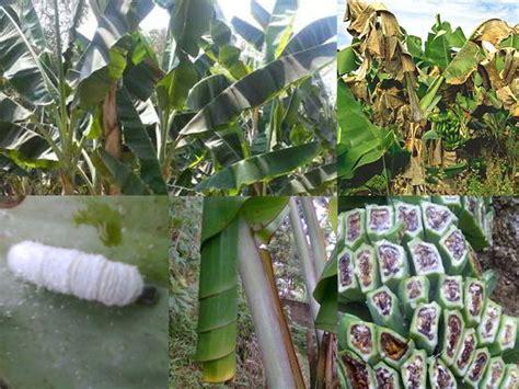 Penyakit Tanaman Pangan Dan Pembasminya By Rismunandar 14 cara tepat mengendalikan hama dan penyakit penting tanaman pisang