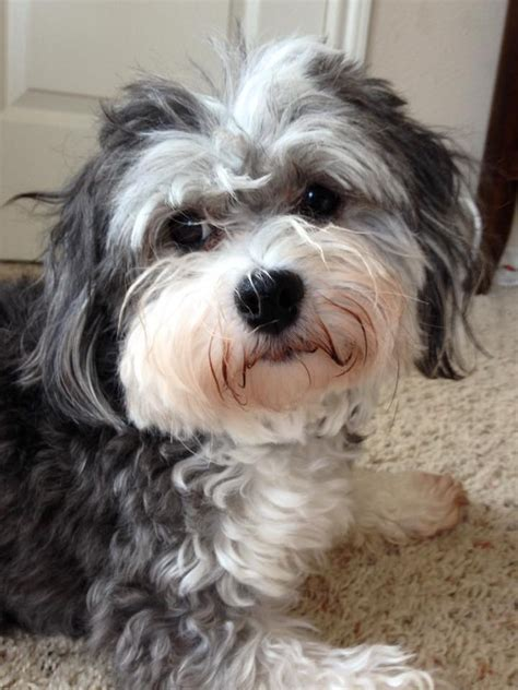 halo havanese rescue havanese league organization