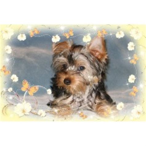 yorkie rescue tennessee terrier yorkie breeders in tennessee freedoglistings