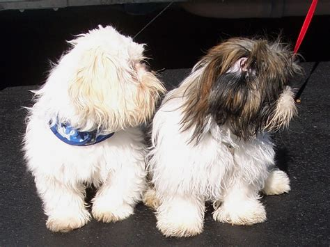junique shih tzu shih tzu puppies for sale shih tzu breeders