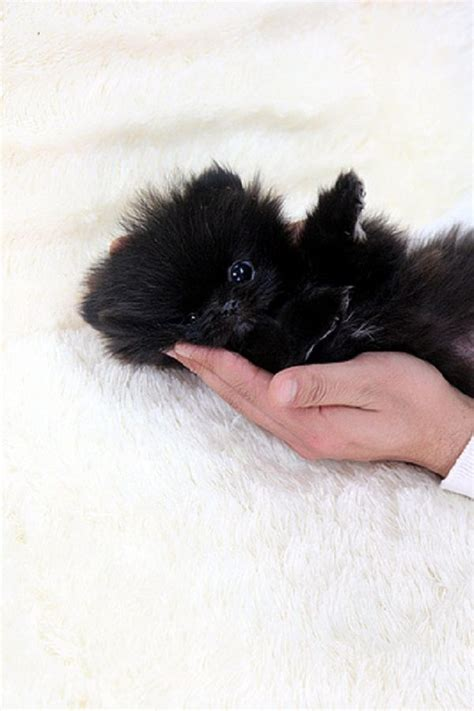 black puppy pomeranian best 25 teacup pomeranian puppy ideas on pomeranians pomeranian puppy