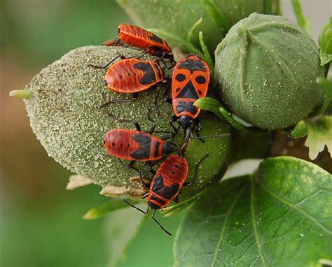 kleine rode spinnetjes in huis vuurwantsen wikipedia