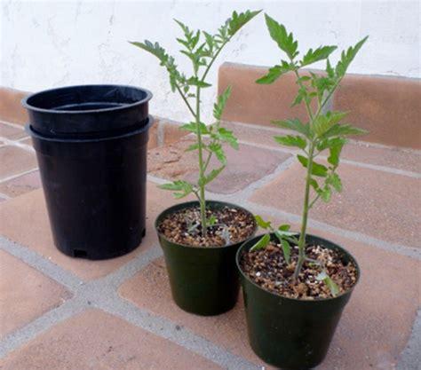 Pot Kecil Utk Tanaman Mungil 10 Biji 18 tanaman buah yang bisa ditanam di pot kecil bibitbunga